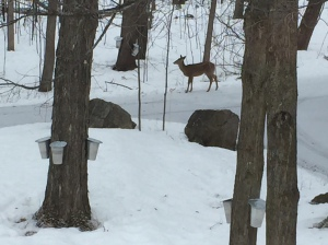 Buckets on our maple trees with a single deer in the background - it really is that picturesque here