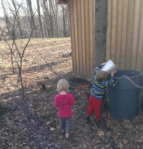 Our twins helping to gather the sap by pouring it into a large collection bucket